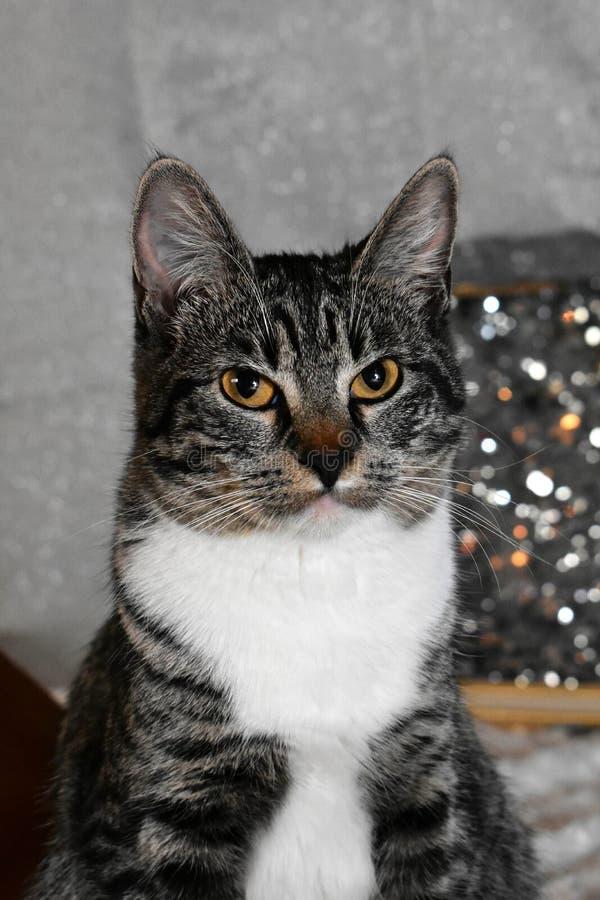 Tabby Manx Cat Portrait lizenzfreie stockfotografie