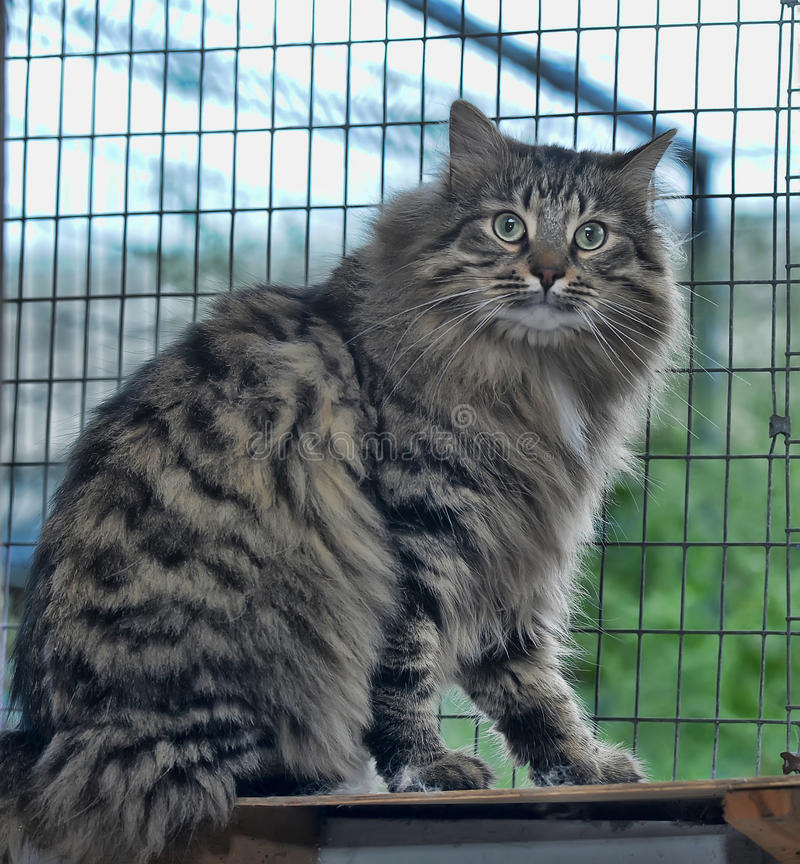 Tabby Norwegian Forest cat. Beautiful Tabby Norwegian Forest cat royalty free stock image