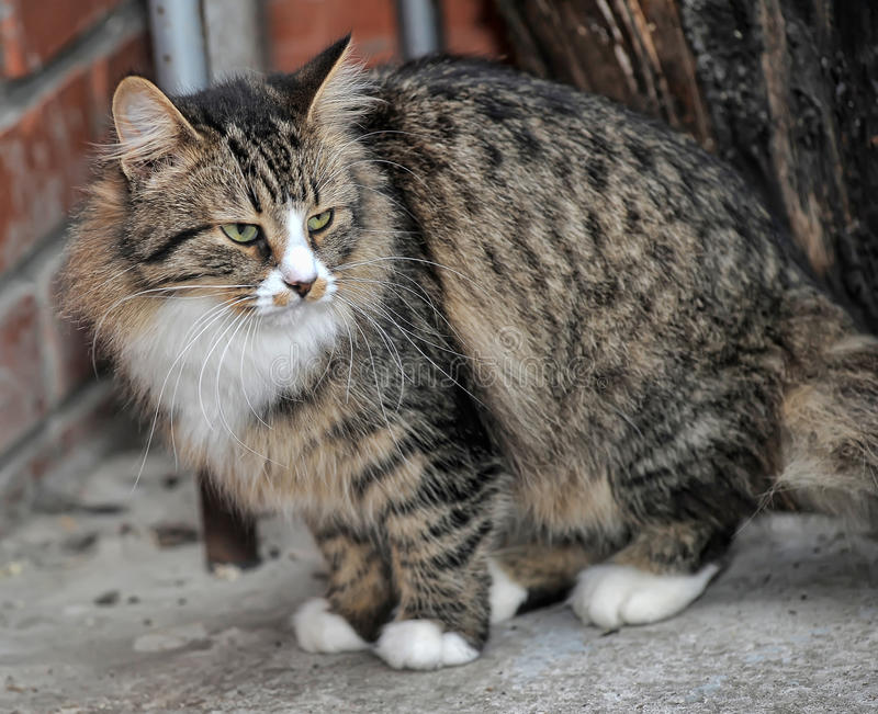 Tabby Norwegian Forest cat stock photo. Image of close ... Tabby Norwegian Forest Cat