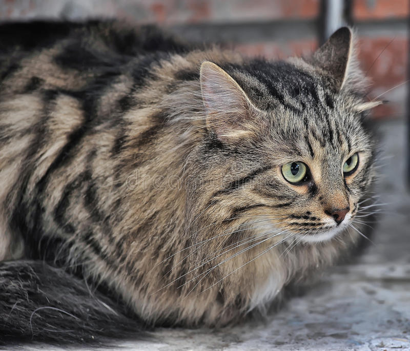 Tabby Norwegian Forest Cat Royalty Free Stock Image ... Tabby Norwegian Forest Cat