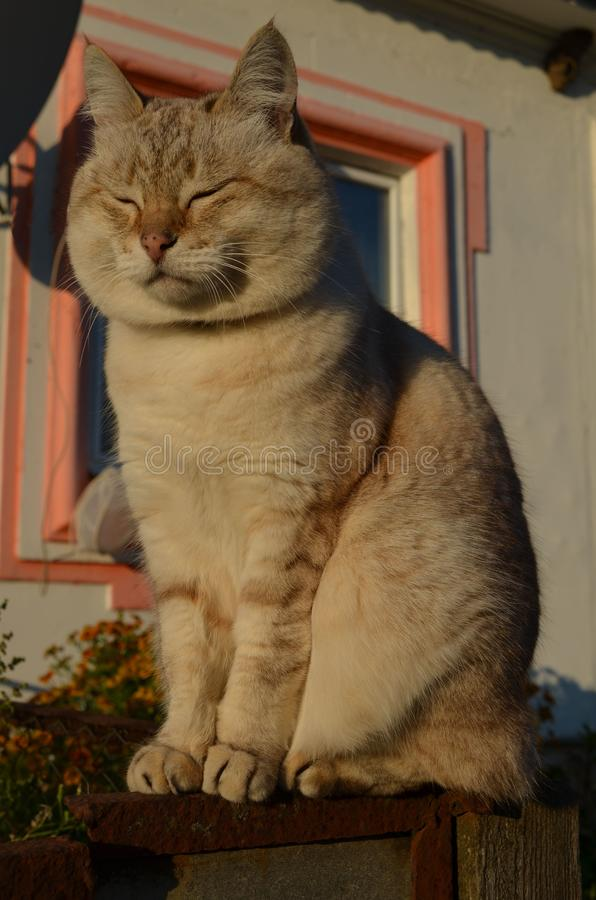 Tabby point cat royalty free stock images