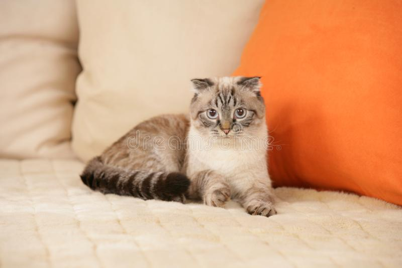Scottish fold cat. Tabby point scottish fold cat lying on a sofa stock image