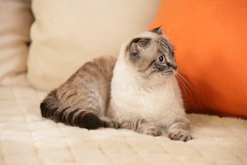 Scottish fold cat. Tabby point scottish fold cat lying on a sofa royalty free stock images