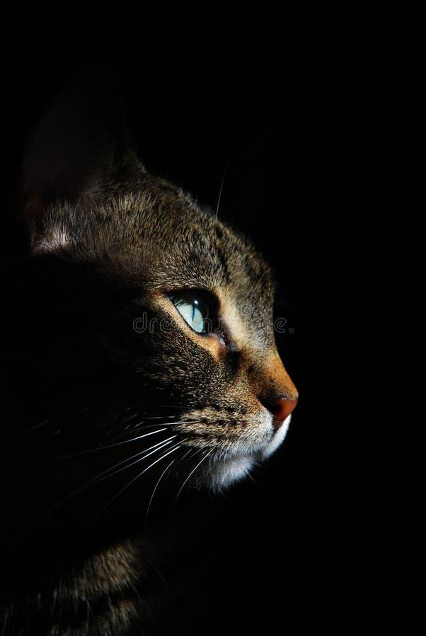 Tabby portret na czerni zdjęcie royalty free