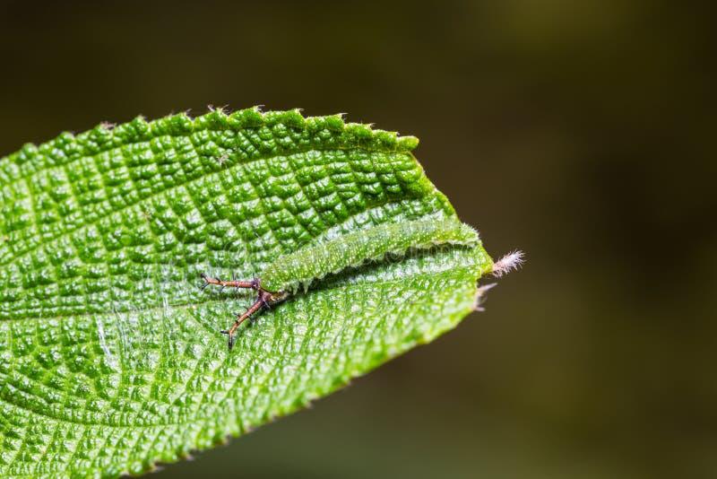 Tabby Pseudergolis-wedah Schmetterlingsgleiskettenfahrzeug stockbilder