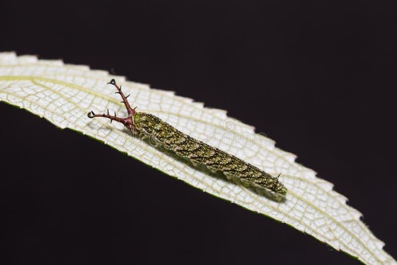 Tabby Pseudergolis-wedah Schmetterlingsgleiskettenfahrzeug lizenzfreie stockfotografie