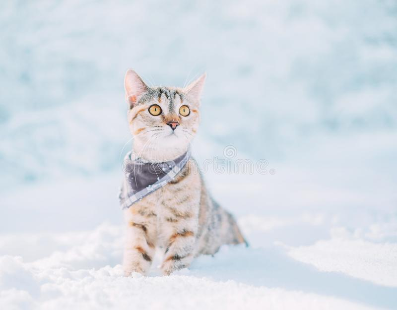 Tabby red cat sitting in snowdrift in winter. Curious explorer tabby red cat wearing in bandana sitting in snowdrift in winter royalty free stock photography
