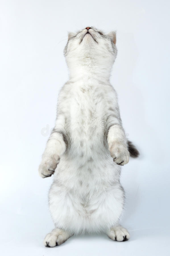 Tabby Scottish cat standing on hind feet. Cute young silver tabby Scottish cat playing and standing on hind feet and looking up royalty free stock photo