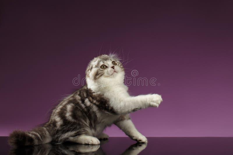 Tabby Scottish Fold Kitten Sits blanca y aumento para arriba de la pata fotografía de archivo