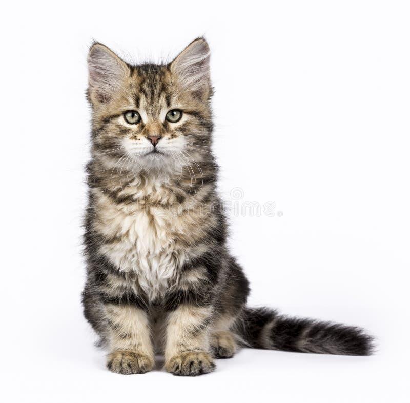 Tabby Siberian Forest katt/kattungar som isoleras på vit bakgrund som sitter upp royaltyfria bilder