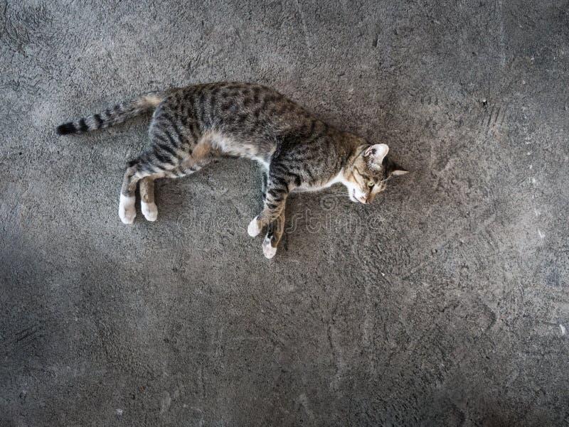 Tabby Stray Cat Lying nel pavimento del cemento fotografie stock