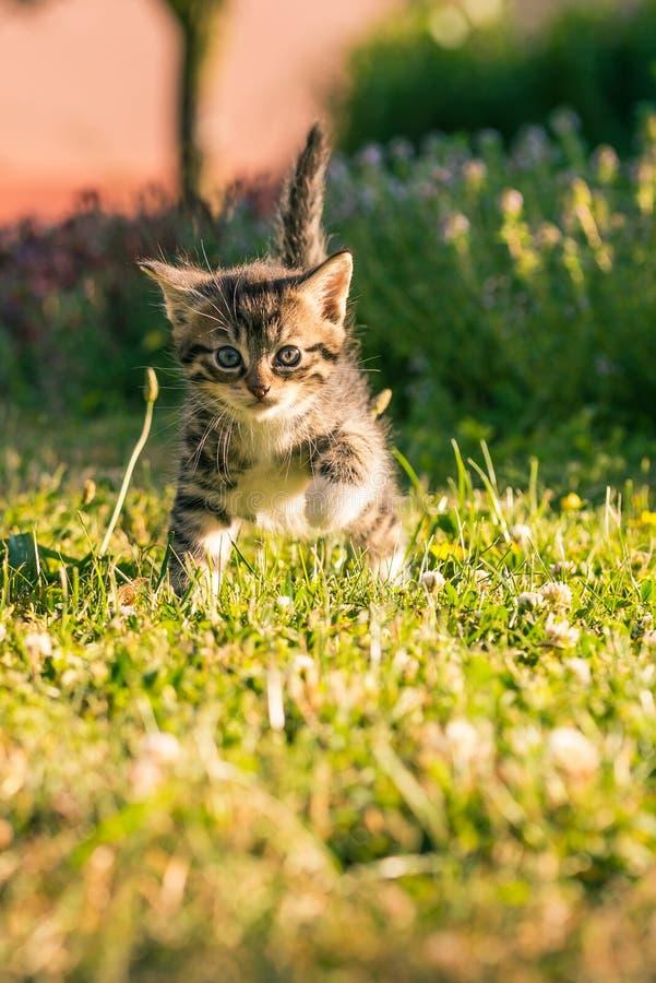 Tabby tomcat z białą klatką piersiową chodzi na zielonej trawie zdjęcia stock
