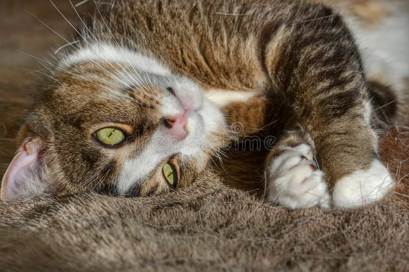 Cute tabby and white cat stock photography