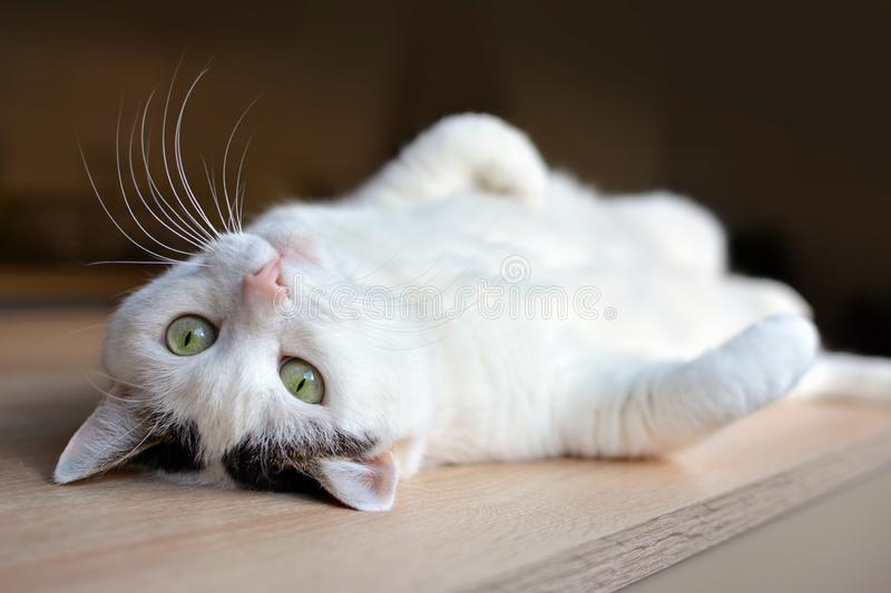 Tabby white cat with green eyes and pink nose lying upside down on back on wooden floor royalty free stock photo