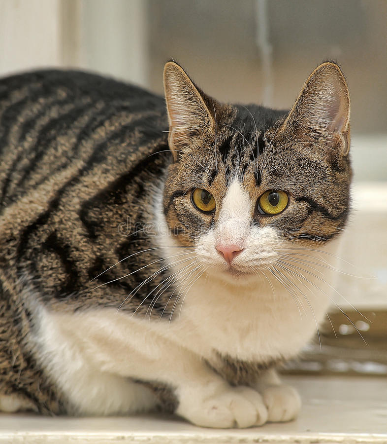 Tabby with white cat. Tubby tabby with white cat stock photography