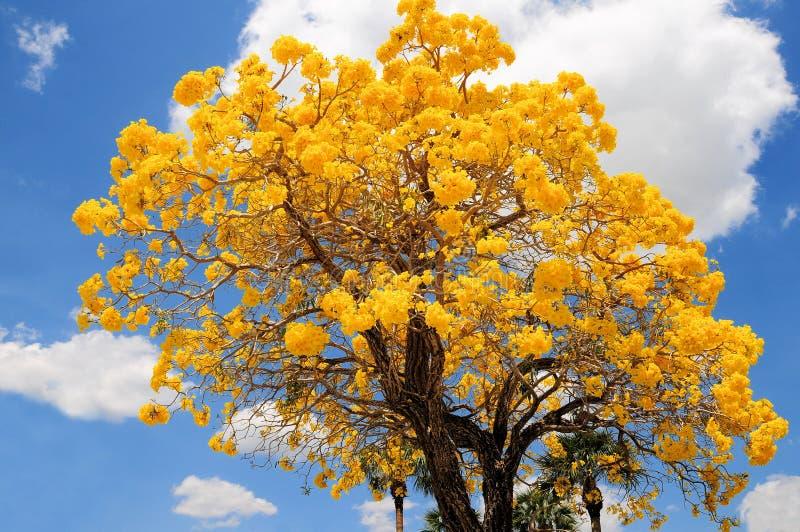 Tabebuia在盛开,佛罗里达的aurea树 免版税库存照片