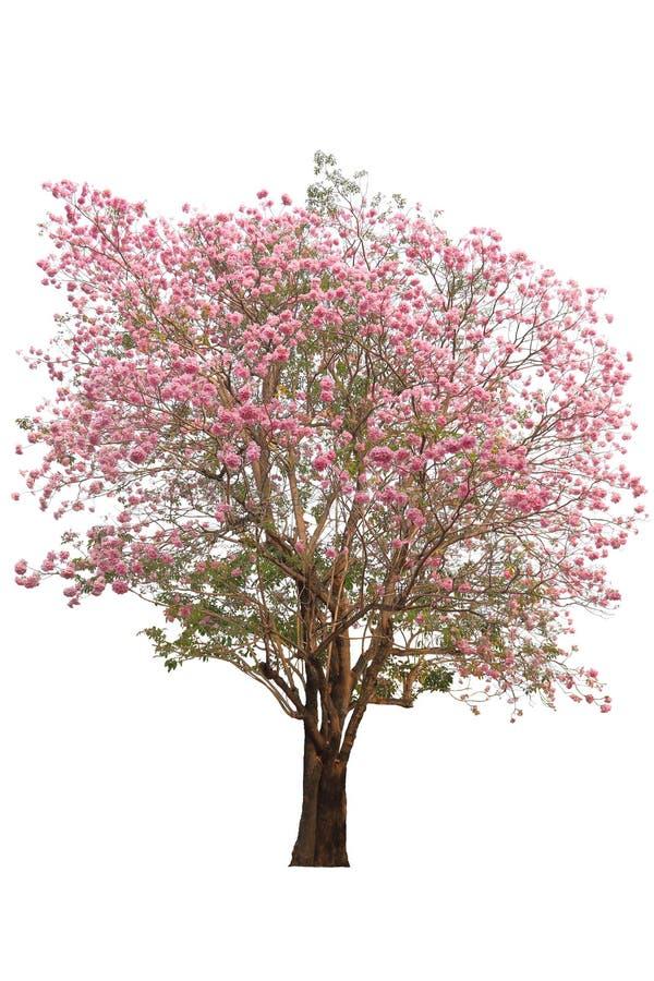 Tabebuia树桃红色poui或玫瑰色喇叭花萨尔瓦多的全国树在whi在春季期间隔绝的盛开的 免版税库存图片