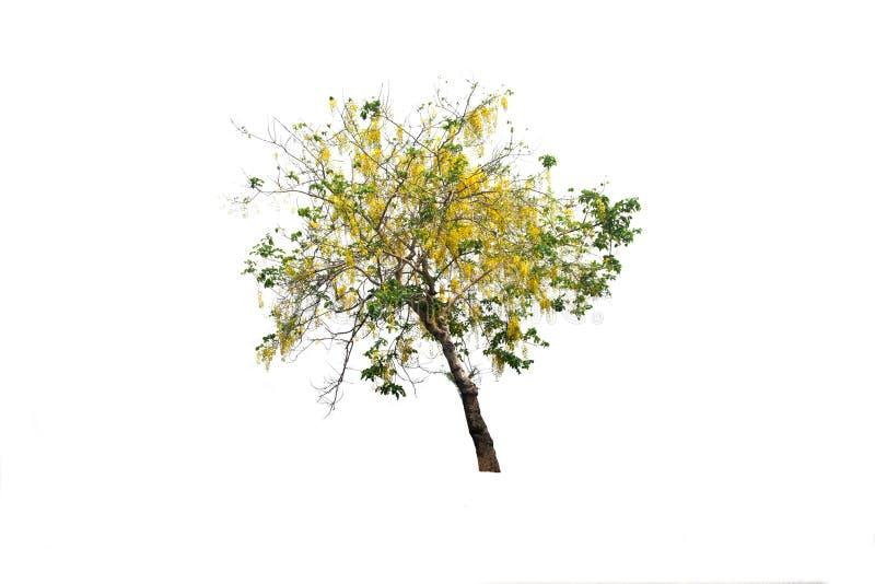 Tabebuia, Árvore dourada ou Árvore dourada ou Tallow Pui em árvore isolada, e planta cortada em fundo branco com caminho de recor fotos de stock royalty free