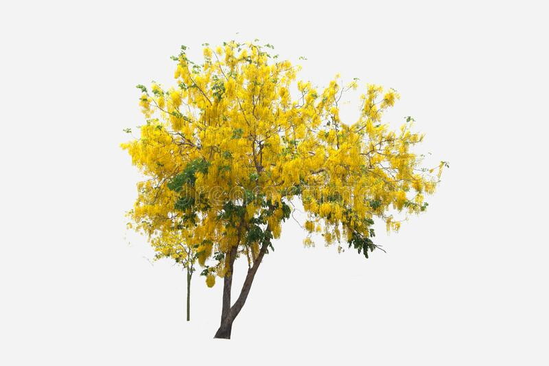 Tabebuia, Árvore dourada ou Árvore dourada ou Tallow Pui em árvore isolada, e planta cortada em fundo branco com caminho de recor imagem de stock