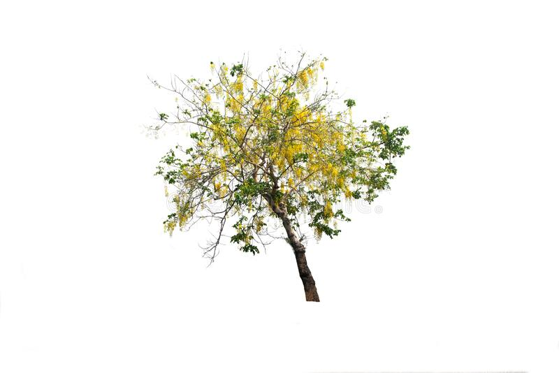 Tabebuia ή Golden tree ή Tallow Pui tree σε απομονωμένο περιβάλλον και φυτέψτε διατομή σε λευκό φόντο με διαδρομή αποκοπής στοκ φωτογραφίες με δικαίωμα ελεύθερης χρήσης
