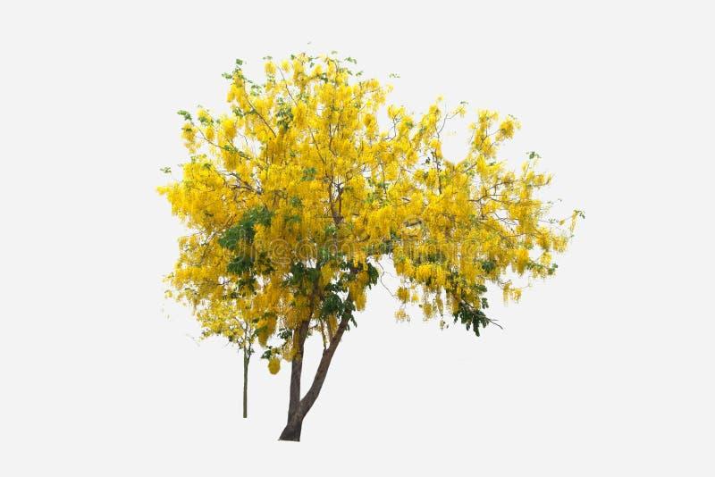 Tabebuia ή Golden tree ή Tallow Pui tree σε απομονωμένο περιβάλλον και φυτέψτε διατομή σε λευκό φόντο με διαδρομή αποκοπής στοκ εικόνα