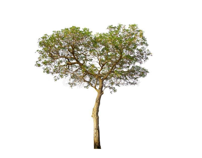 Tabebuia aurea,在心形的热带树,看起来美丽和甜 在白色隔绝的唯一树与裁减路线 库存照片