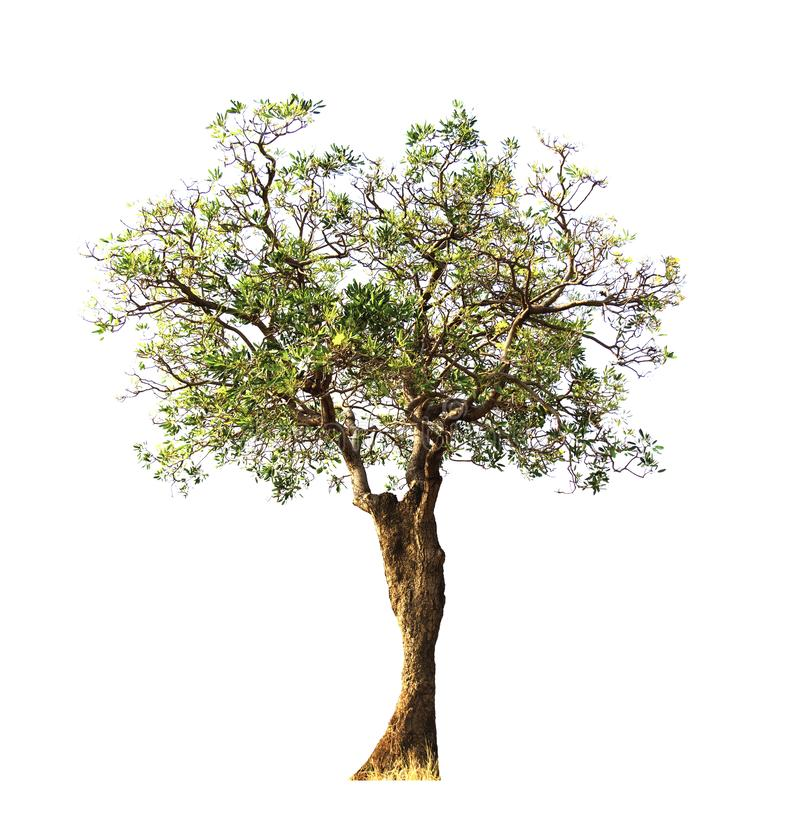 Tabebuia aurea tree ,decoration rosdside plants with beautiful branches  isolated on white background on summer ,season change stock photography