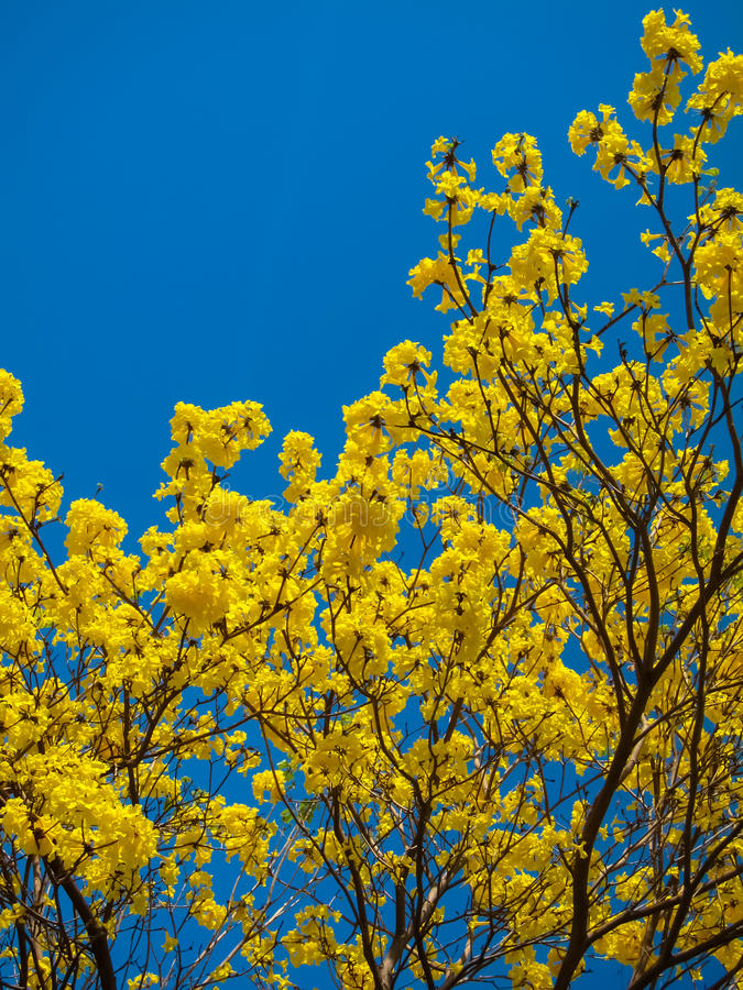 Tabebuia Chrysanth of bloeiende gele bloemboom stock afbeeldingen