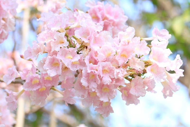 Tabebuia cor-de-rosa imagem de stock