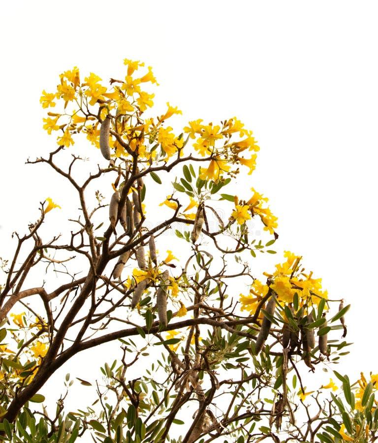 Tabebuia gula blommor som blomstrar på vit bakgrund arkivbild