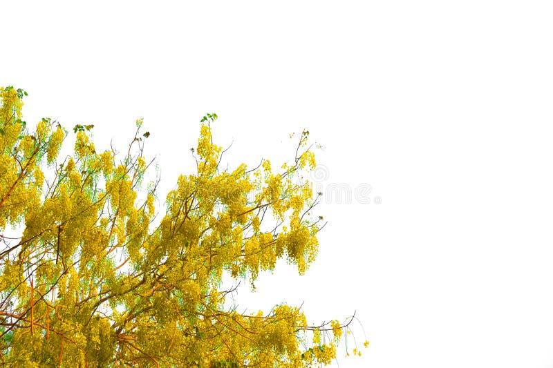 Tabebuia ou Árvore dourada ou árvore do tallow Pui isolada, uma planta de folhas verde-everdeada cortada sobre fundo branco com d foto de stock royalty free