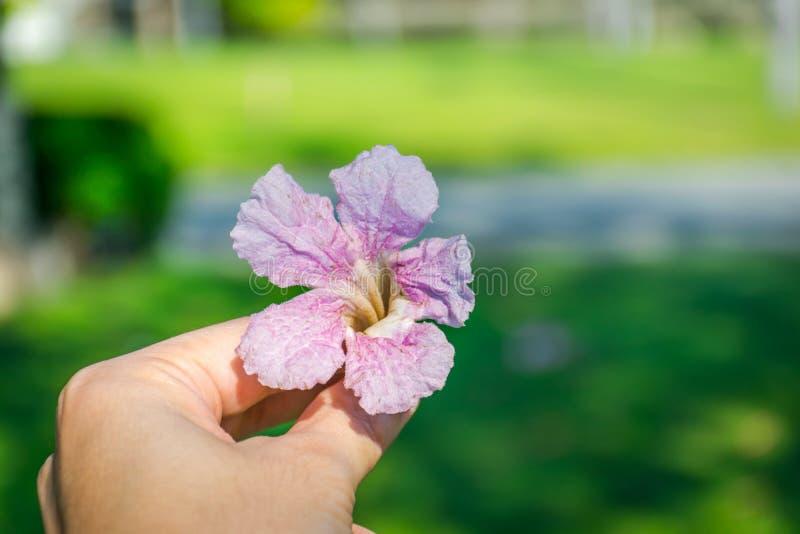 Tabebuia rosea花在手中 库存照片