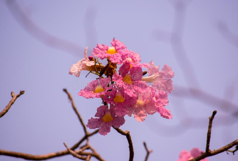 Tabebuia-rosea oder rosa Trompetenblumen, heranwachsend im lokalen Park in der Landschaft von Thailand schaut frisch stockfotografie