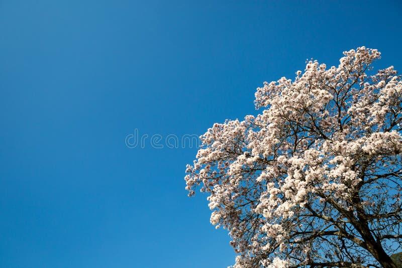 Tabebuia roseo-alba, Witte Ipe royalty-vrije stock afbeelding