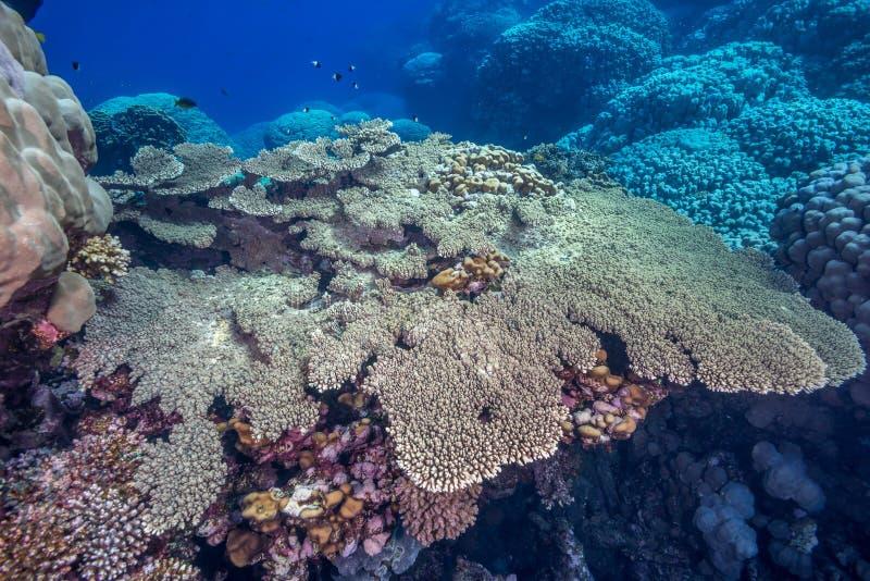 Tabellen-Koralle stockfotos