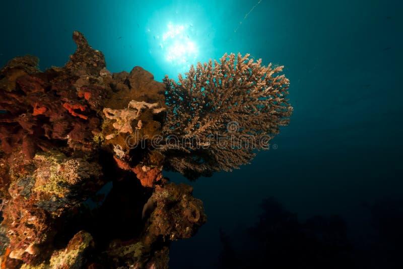 Tabellkorall i det röda havet. arkivfoto