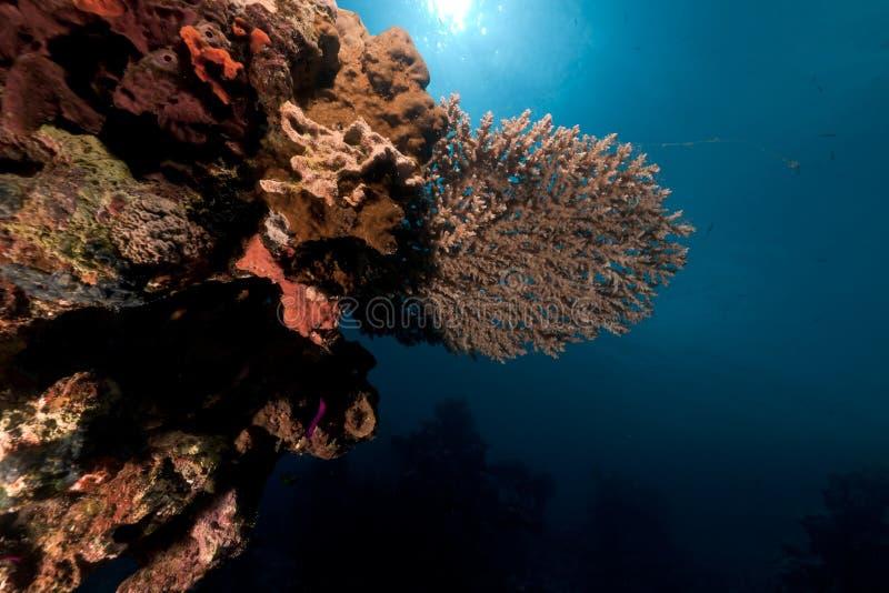 Tabellkorall i det röda havet. royaltyfri fotografi