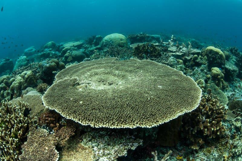 Tabla Coral Growing fotos de archivo libres de regalías