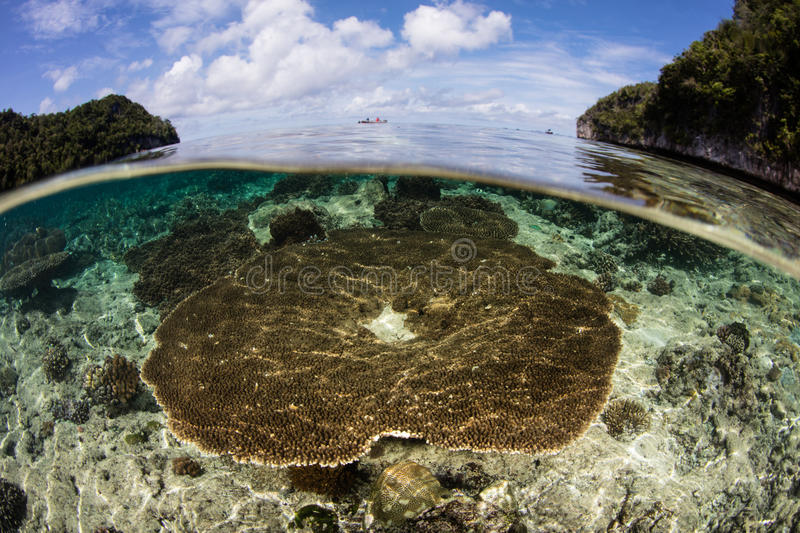 Table Coral in Raja Ampat. A table coral Acropora sp. grows in the shallows of Raja Ampat, Indonesia. This remote region is the heart of the Coral Triangle and stock photography