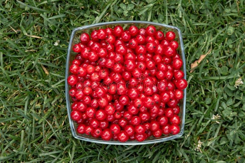 Table de récolte d'été avec les groseilles rouges en verres sur une table en bois blanche avec l'herbe sur le fond photo libre de droits