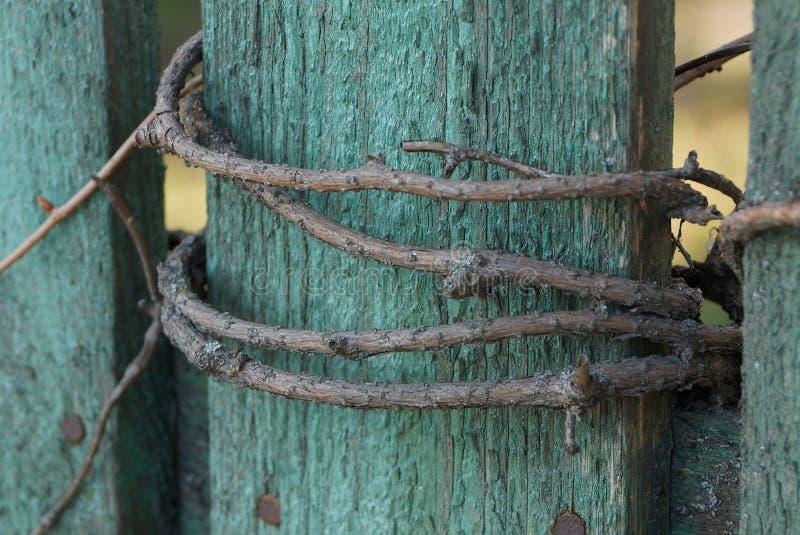 Tablero de madera verde de la cerca envuelto con una rama gris de uvas fotos de archivo