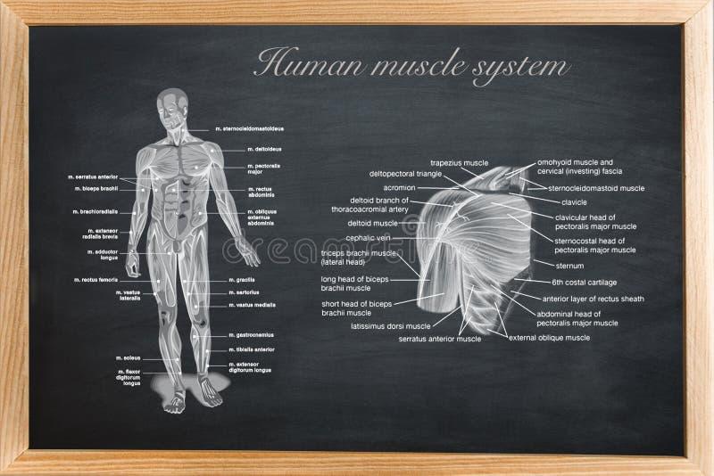 Tablero didáctico de anatomía del ser humano stock de ilustración
