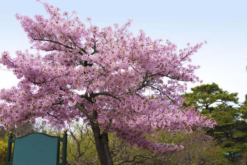 Tablero verde al aire libre de la muestra del espacio en blanco en una acera con el árbol de Sakura imagen de archivo libre de regalías
