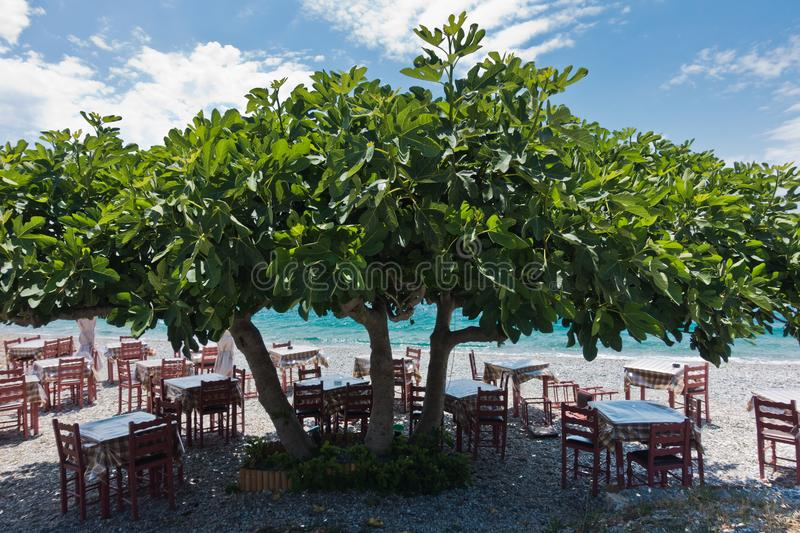 Tables and chairs at the beach in a shade of a big fig tree at Panormos bay, Skopelos island, north Aegean royalty free stock photo