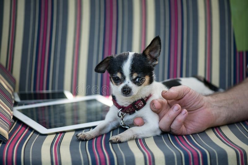 tablet and the mobile phone on the striped sofa and dog rest near like ipades. Man's hand holding his arm royalty free stock photography