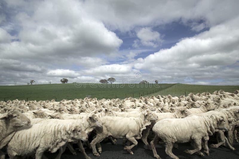 tabunowi owce zdjęcia stock