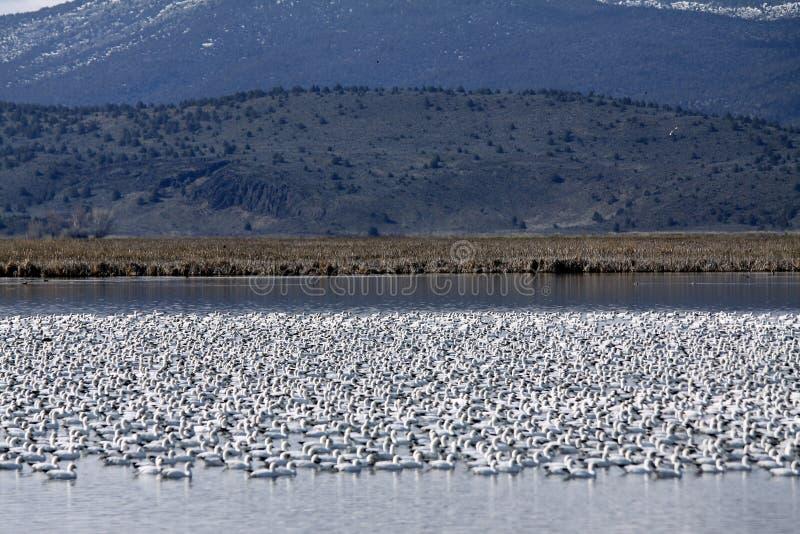 tabunowych gąsek jeziorny góry śnieg fotografia royalty free