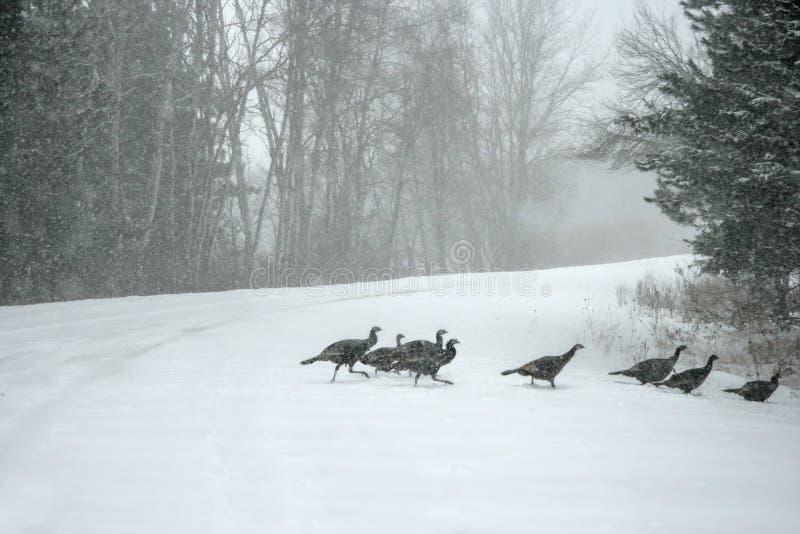 Tacchini selvaggi nella bufera di neve fotografia stock libera da diritti