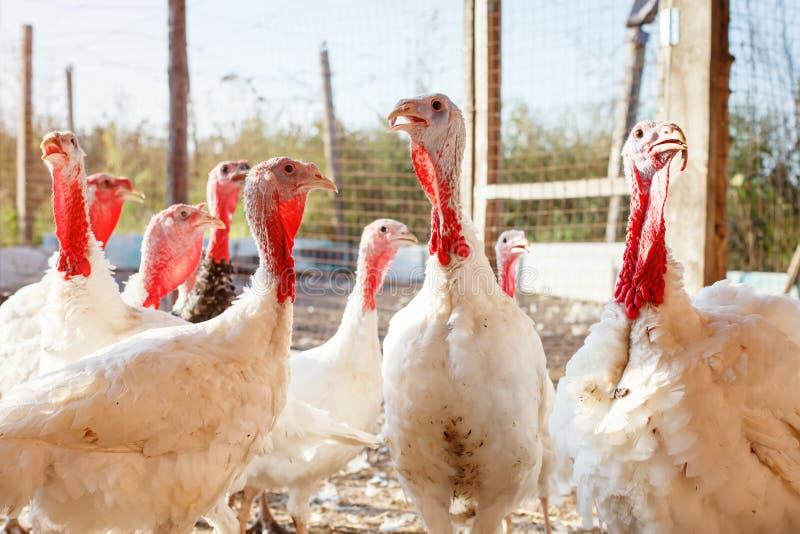 Tacchini su un'azienda avicola tradizionale fotografia stock libera da diritti
