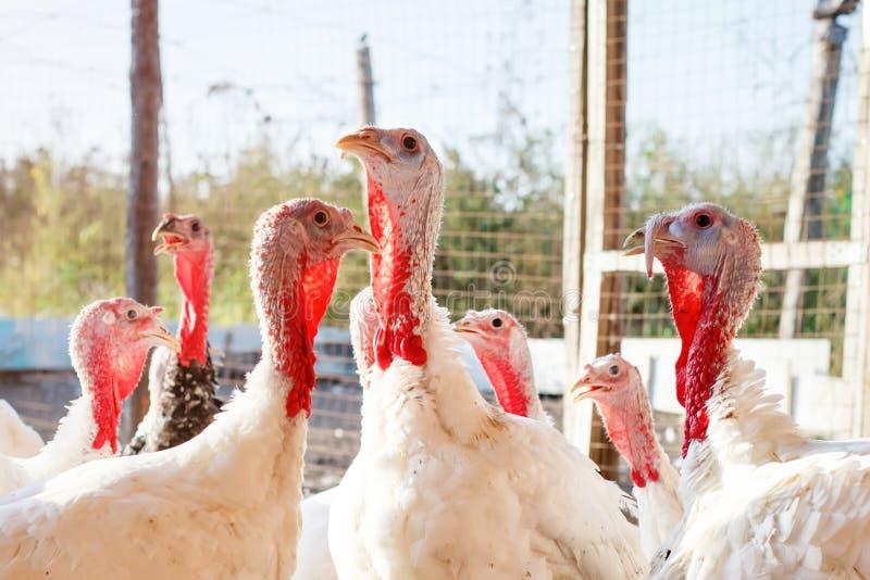 Tacchini su un'azienda avicola tradizionale fotografie stock